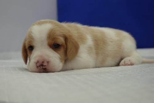 ビーグルの子犬(ID:1272811038)の2枚目の写真/更新日:2018-10-03