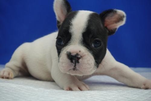 フレンチブルドッグの子犬(ID:1272811039)の2枚目の写真/更新日:2021-09-10