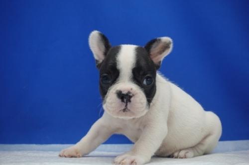 フレンチブルドッグの子犬(ID:1272811039)の3枚目の写真/更新日:2021-09-10