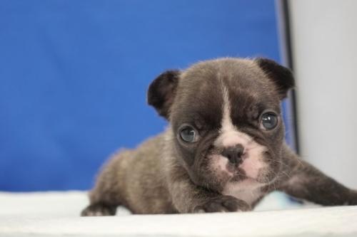 フレンチブルドッグの子犬(ID:1272811040)の1枚目の写真/更新日:2018-10-03
