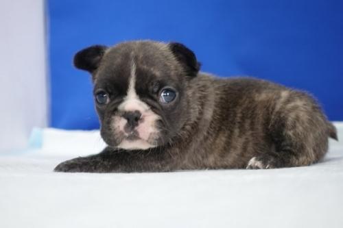 フレンチブルドッグの子犬(ID:1272811040)の3枚目の写真/更新日:2021-07-02