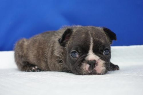 フレンチブルドッグの子犬(ID:1272811040)の4枚目の写真/更新日:2021-07-02
