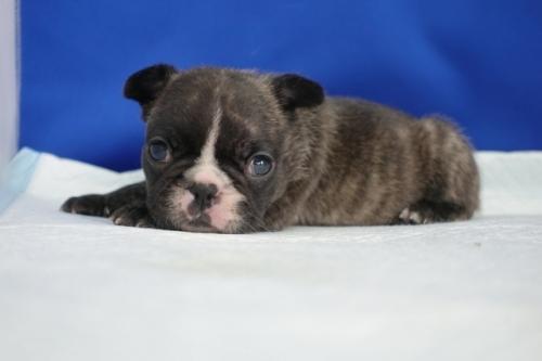 フレンチブルドッグの子犬(ID:1272811040)の5枚目の写真/更新日:2021-07-02