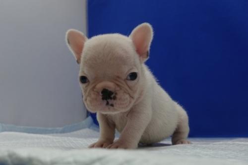 フレンチブルドッグの子犬(ID:1272811041)の1枚目の写真/更新日:2018-12-09
