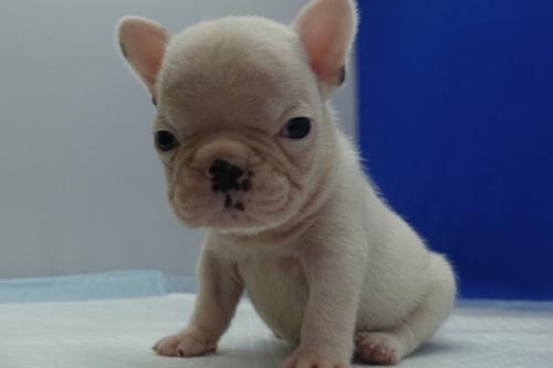 フレンチブルドッグの子犬(ID:1272811041)の3枚目の写真/更新日:2021-09-10
