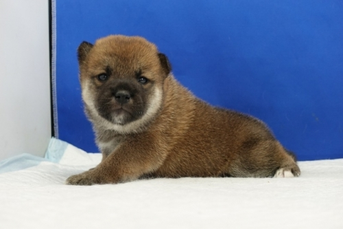 柴犬の子犬(ID:1272811042)の3枚目の写真/更新日:2021-07-09