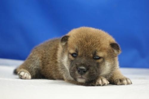 柴犬の子犬(ID:1272811042)の4枚目の写真/更新日:2021-07-09
