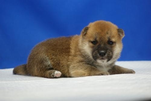 柴犬の子犬(ID:1272811043)の1枚目の写真/更新日:2019-01-14