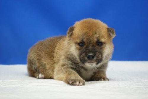 柴犬の子犬(ID:1272811043)の2枚目の写真/更新日:2021-07-09