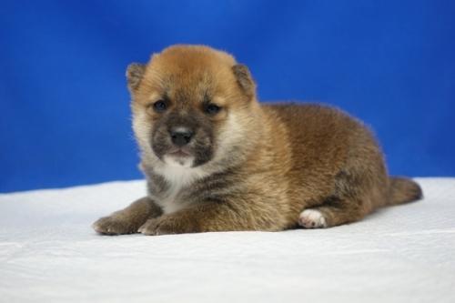 柴犬の子犬(ID:1272811043)の3枚目の写真/更新日:2021-07-09