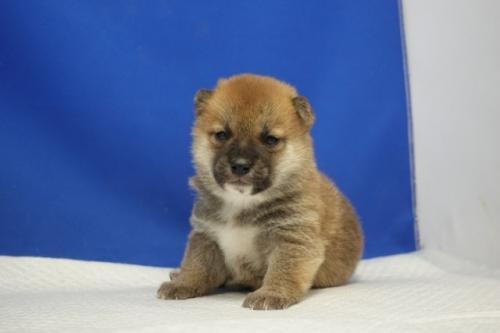 柴犬の子犬(ID:1272811043)の4枚目の写真/更新日:2021-07-09