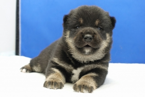 柴犬の子犬(ID:1272811044)の1枚目の写真/更新日:2019-01-14