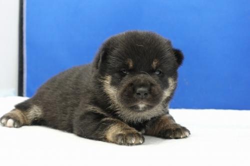 柴犬の子犬(ID:1272811044)の3枚目の写真/更新日:2019-03-01