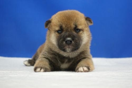 柴犬の子犬(ID:1272811045)の1枚目の写真/更新日:2019-01-14