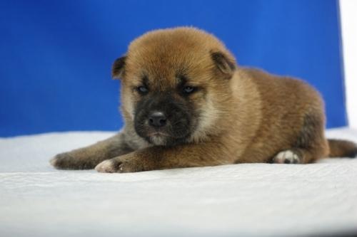 柴犬の子犬(ID:1272811045)の3枚目の写真/更新日:2019-03-01
