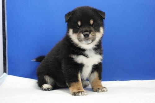 柴犬の子犬(ID:1272811046)の1枚目の写真/更新日:2019-01-14