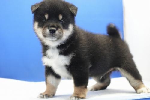 柴犬の子犬(ID:1272811046)の2枚目の写真/更新日:2021-07-13