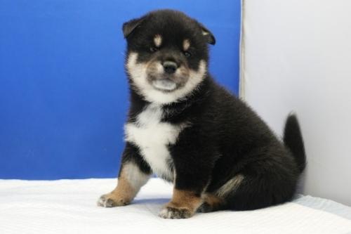 柴犬の子犬(ID:1272811046)の3枚目の写真/更新日:2021-07-13