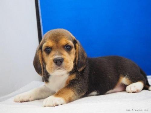 ビーグルの子犬(ID:1272811053)の2枚目の写真/更新日:2021-07-02