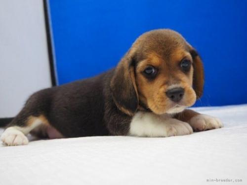 ビーグルの子犬(ID:1272811053)の3枚目の写真/更新日:2021-07-02