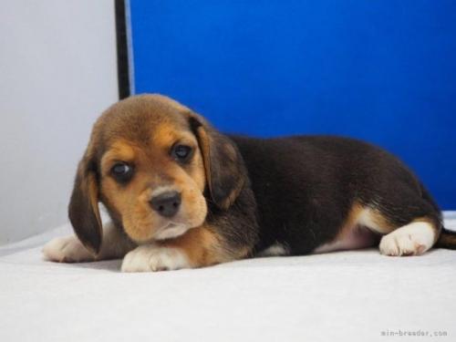 ビーグルの子犬(ID:1272811053)の4枚目の写真/更新日:2021-07-02