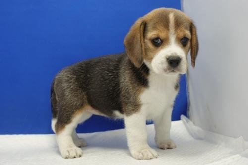 ビーグルの子犬(ID:1272811054)の1枚目の写真/更新日:2021-07-02