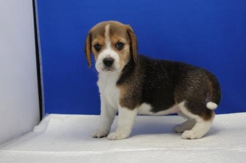 ビーグルの子犬(ID:1272811054)の3枚目の写真/更新日:2021-07-02