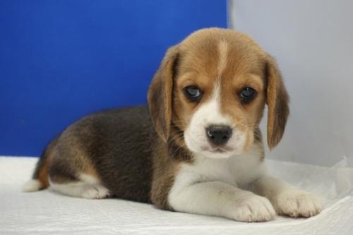 ビーグルの子犬(ID:1272811055)の4枚目の写真/更新日:2021-07-02