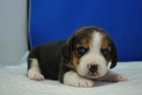 ビーグルの子犬(ID:1272811056)の4枚目の写真/更新日:2021-07-02