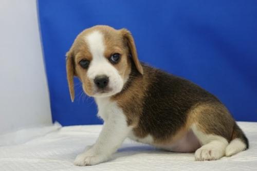 ビーグルの子犬(ID:1272811057)の2枚目の写真/更新日:2021-07-02