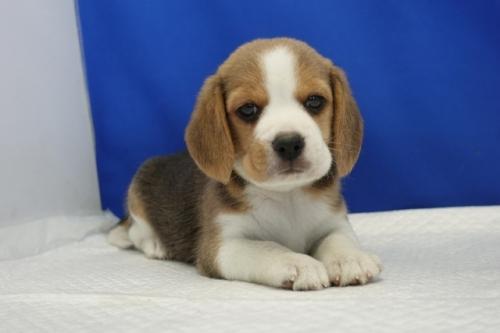 ビーグルの子犬(ID:1272811057)の3枚目の写真/更新日:2021-07-02