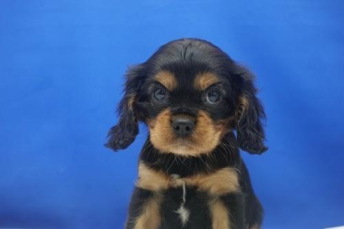 キャバリアの子犬(ID:1272811058)の1枚目の写真/更新日:2021-08-16
