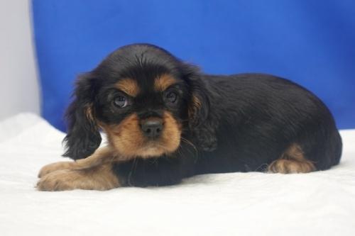キャバリアの子犬(ID:1272811058)の2枚目の写真/更新日:2021-08-16