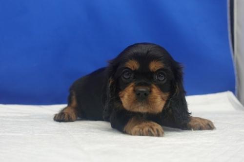 キャバリアの子犬(ID:1272811059)の1枚目の写真/更新日:2021-08-16