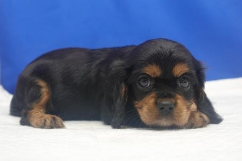 キャバリアの子犬(ID:1272811059)の2枚目の写真/更新日:2021-08-16