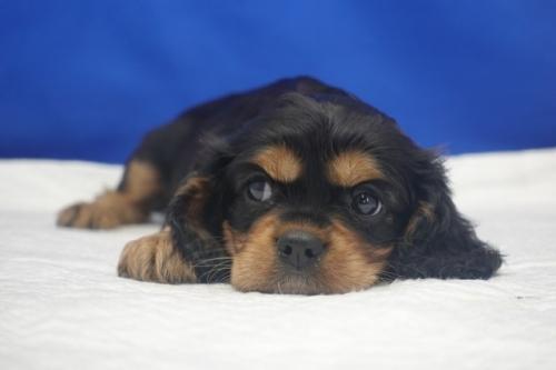 キャバリアの子犬(ID:1272811060)の1枚目の写真/更新日:2021-08-16