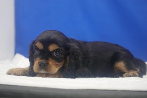 キャバリアの子犬(ID:1272811060)の2枚目の写真/更新日:2021-08-16