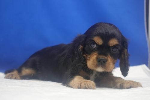 キャバリアの子犬(ID:1272811060)の3枚目の写真/更新日:2021-08-16