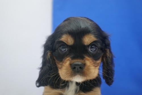 キャバリアの子犬(ID:1272811060)の4枚目の写真/更新日:2021-08-16