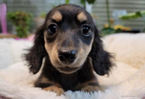 ミニチュアダックスフンド(ロング)の子犬(ID:1272911001)の1枚目の写真/更新日:2018-06-14
