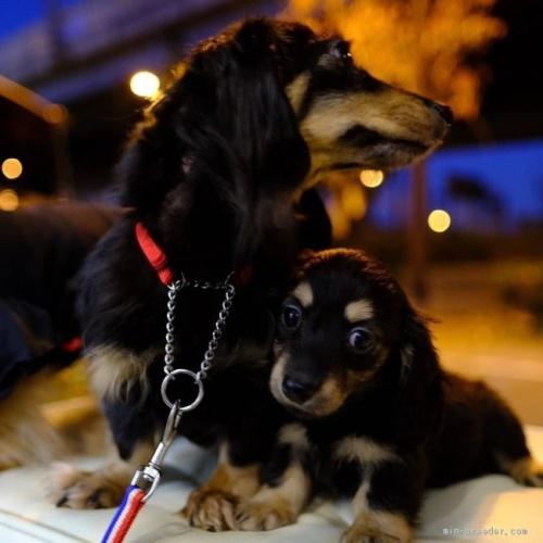 ミニチュアダックスフンド(ロング)の子犬(ID:1272911001)の3枚目の写真/更新日:2018-06-14