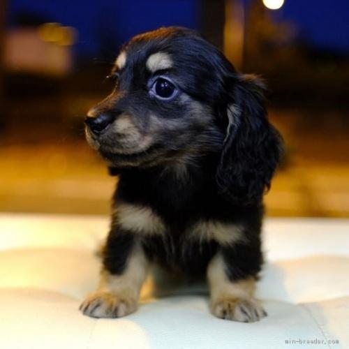 ミニチュアダックスフンド(ロング)の子犬(ID:1272911001)の4枚目の写真/更新日:2018-07-12