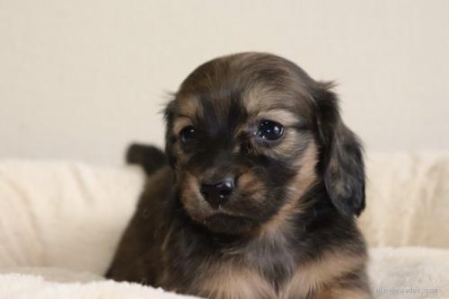 ミニチュアダックスフンド(ロング)の子犬(ID:1272911002)の1枚目の写真/更新日:2018-08-18