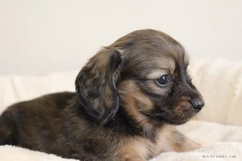 カニンヘンダックスフンド(ロング)の子犬(ID:1272911002)の2枚目の写真/更新日:2018-06-14