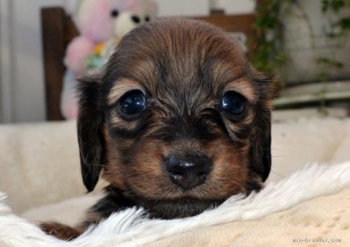 カニンヘンダックスフンド(ロング)の子犬(ID:1272911003)の1枚目の写真/更新日:2018-06-14