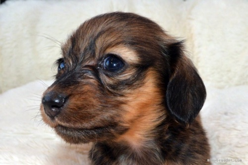 ミニチュアダックスフンド(ロング)の子犬(ID:1272911003)の2枚目の写真/更新日:2018-09-19