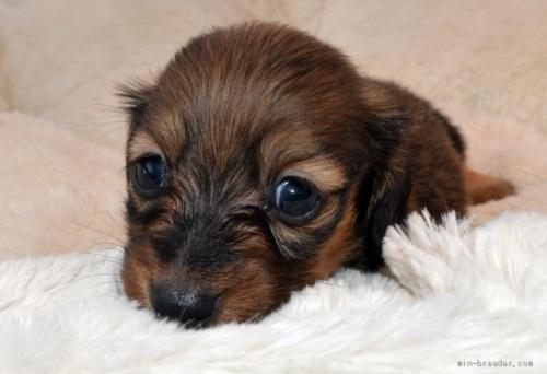 ミニチュアダックスフンド(ロング)の子犬(ID:1272911003)の3枚目の写真/更新日:2018-09-19