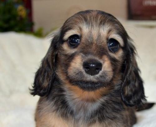 ミニチュアダックスフンド(ロング)の子犬(ID:1272911004)の1枚目の写真/更新日:2018-06-14