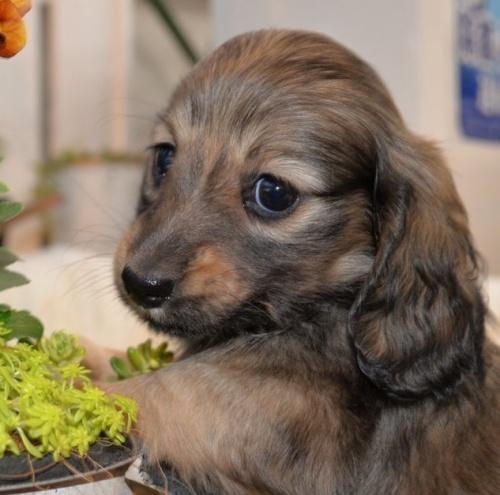 ミニチュアダックスフンド(ロング)の子犬(ID:1272911004)の2枚目の写真/更新日:2018-06-14