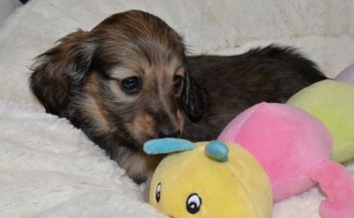 ミニチュアダックスフンド(ロング)の子犬(ID:1272911004)の3枚目の写真/更新日:2018-06-14
